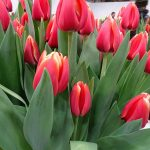 Tulipan Anna Krasavitsa_P. Aker_Tulip Trade Event 2019
