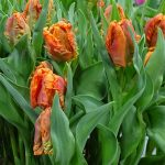 Tulipan Monarch Parrot_P. Aker_Tulip Trade Event 2019