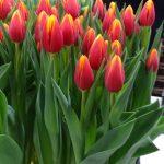 Tulipan Hennie van der Most_P. Aker_Tulip Trade Event 2019