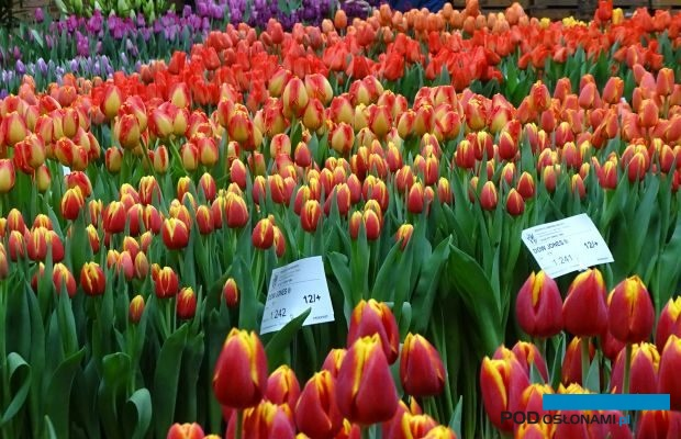 Migawka z holenderskich dni otwartych Tulip-Trade-Event 2019 (tu: fragment pokazów w firmie Boots Flowerbulbs), fot. A. Cecot