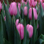 Tulipan Tresor_Boots Flowerbulbs_Tulip Trade Event 2019