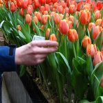Tulipan Time Out_Jan de Wit en Zonen_Tulip Trade Event 2019
