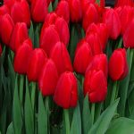 Tulipan Red Label_Jan de Wit en Zonen_Tulip Trade Event 2019