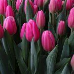 Tulipan Milkshake_Jan de Wit en Zonen_Tulip Trade Event 2019