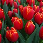 Tulipan Icoon_BOT Flowerbulbs_Tulip Trade Event 2019
