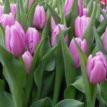 Tulipan Argos_BOT Flowerbulbs_Tulip Trade Event 2019