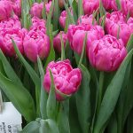 Tulipan Dior_BOT Flowerbulbs_Tulip Trade Event 2019
