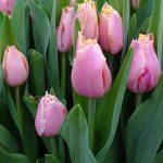 Tulipan Heartbeat_BOT Flowerbulbs_Tulip Trade Event 2019