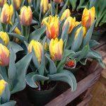Tulipan Ravana_firma Jansen-s Overseas_Tulip Trade Event 2019