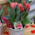 Tulipan Pretty Princes_firma Jansen-s Overseas_Tulip Trade Event 2019