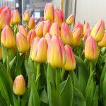 Tulipan Tom Pouce_firma Jansen-s Overseas_Tulip Trade Event 2019