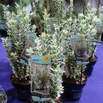 Nowością prezentowaną przez firmę PlantLine z Boskoop była trzmielina japońska (Euonymus japonicus) 'White Spire'PBR