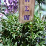 Jedną z nowości pokazywanych podczas Gardenii była Sarcococca humilis 'Winter Gem' z oferty firmy Plant Line z Boskoop, o kwiatach pachnących podobnie do jaśminowca