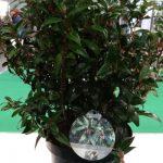 Sarcococca humilis 'Winter Gem' - jedna z nowości firmy PlantLine z Boskoop z Holandii