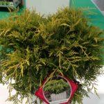 Juniperus ×pfitzeriana 'Yellow Sapphire' z asortymentu firmy A&M Kałuzińscy Szkółka Polskie Korzenie