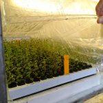 Borówka wysoka - aklimatyzacja roślin (rozmnożonych in vitro) Plantin 2019_Tadeusz Kusibab