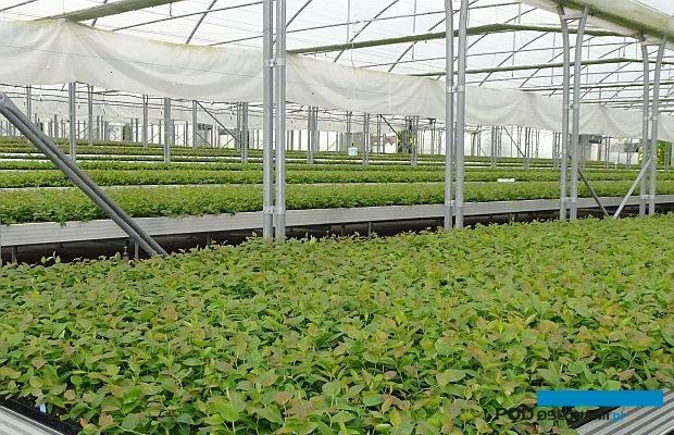 Oddział firmy Plantin w Muniakowicach - blok foliowy z młodymi roślinami borówki wysokiej, które wywodzą się z krakowskiego laboratorium kultur in vitro tej firmy
