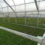 Plantin-2019_Materiały wyjściowe (tu: borówka wysoka) produkowane na zagonach gruntowych