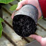Korzenie ogórka dobrze przerastają podłoże z węgla brunatnego