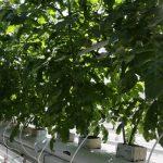 Pomidory uprawiane na matach z węgla brunatnego