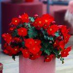 Begonia ×elatior MacaRouge