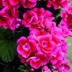 Pelargonium Pretty Little Pink Splash