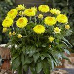 Xerochrysum bracteatum Granvia® Gold
