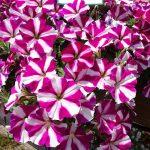 Petunia Amore 'Joy'_Dni Otwarte Plantpol 2019