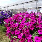 przygotowano wiele petuniowych kompozycji - na 1. planie odmiana Surfinia 'Giant Purple'_Dni Otwarte Plantpol 2019