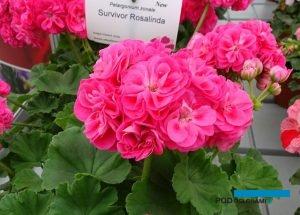 pelargonię rabatową (Pelargonium zonale) Survivor 'Rosalinda'