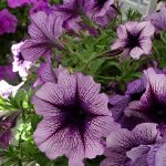 Petunia Titan 'Purple Star'_Dni Otwarte Vitroflory 2019