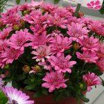 Osteospermum Margarita Double 'Pink'_Dni Otwarte Vitroflory 2019