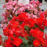 Begonia_MacaRouge_MacaRose_Dni Otwarte Vitroflory 2019