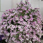 Petunia ×hybrida Supertunia 'Lovie Dovie' _Dni Otwarte Plantpol 2019