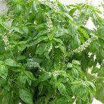 Bazylia (Ocimum basilicum) 'Amazel'_Dni Otwarte Plantpol 2019