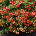 Calibrachoa ×hybrida Superbells 'Cardinal Star'_Dni Otwarte Plantpol 2019