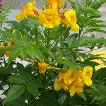 Tecoma Tacobells 'Orange'_Dni Otwarte Plantpol 2019