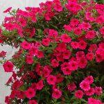 Petunia ×hybrida Supertunia Vista 'Paradise'_Dni Otwarte Plantpol 2019