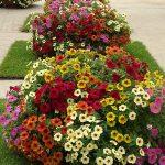 ×Petchoa – odmiany z grupy BeautiCal_Dni Otwarte Plantpol 2019
