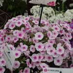 Phlox paniculata Flame Pro 'Soft Pink'_Dni Otwarte Vitroflory 2019