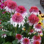 Echinacea Strawberry and Cream_Dni Otwarte Vitroflory 2019