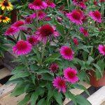 Echinacea 'Delicious Candy'_Dni Otwarte Vitroflory 2019