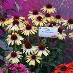 Echinacea 'Rainbow Yellow'_Dni Otwarte Vitroflory 2019