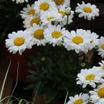 Leucanthemum maximum Sweet 'Daisy Jane'_Dni Otwarte Vitroflory 2019