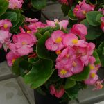 Begonia semperflorens Highlight Exp. Pink'_Dni Otwarte Vitroflory 2019