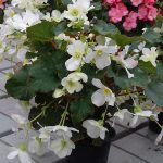 Begonia ×elatior Glory 'White'_Dni Otwarte Vitroflory 2019