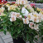 Alstroemeria_ColoritaFabiana_Dni Otwarte Vitroflory 2019