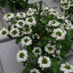 Scaevola-aemula_White-Touch_Dni Otwarte Vitroflory 2019