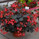 Begonia Viking XL 'Red on Chocolate'_Dni Otwarte Vitroflory 2019