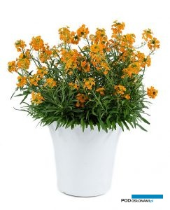 Erysimum Sunstrong Orange